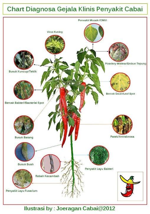 Gejala penyakit tanaman Cabe